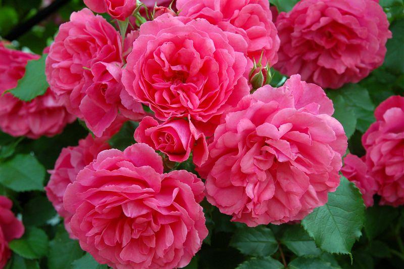 Цветы розы букет для девушки